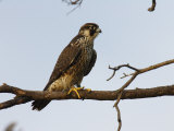 Peregrine Falcon Perches in a Tree, Bombay Hook, Delaware