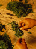 Marijuana Buds Being Cropped, California