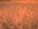 The Setting Sun Catches Prairie Grasses at Dusk