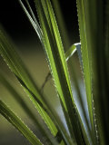 Sunset Catches the Bristling Spiked Edges of a River Sedge Leaf, Australia