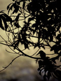 The Silhouette of a Kingfisher Roosting in a Tree at Sunset