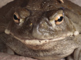 Sonoran Desert Toad Pauses for a Photo