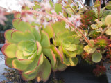 Side View of Aeonium Glandulosum Succulent, California