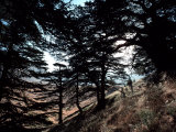 View Through the Branches of Lebanon's Famous Cedar Trees