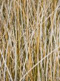 Wild Grass on Chesapeake Bay Shore