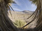View Through Cactus of Desert of Snow Capped Mountain, California