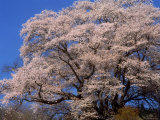 Old Cherry Tree
