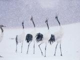 Cranes in the Tsurui Bird Sanctuary, Hokkaido, Japan