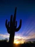 Saguaro National Park, Cactus, Sunset, Arizona, USA