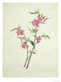 Flowering Peach, c.1800-1840