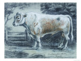 Leicestershire Bull, 18th Century