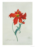Perroquet Rouge, A Botanical Illustration