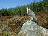 Peregrine Falcon, Strathspey, UK