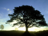 Scots Pine, Silhouette of Single Tree at Sunrise, Scotland