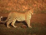Kenya, Africa, Leopard, Panthera Pardus