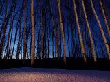 Aspen Forest in Winter Near Anchorage, USA