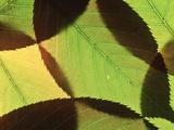 Prunus (Ornamental Cherry), Close-up of Leaves