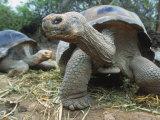 Galapagos Giant Tortoises, Ecuador