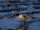 Canada Goose, Branta Canadensis, CO