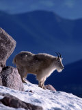 Mountain Goat, Oreamos Americanus, CO