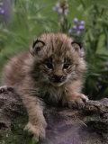 Lynx Kitten in Flowers, Lynx Canadensis