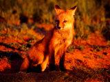 Red Fox at Den at Sunrise
