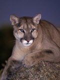 Mountain Lion on Rock at Dusk, Felis Concolor