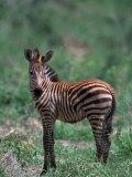 Burchell's Zebra Foal, Equus Burchelli, Tanzania