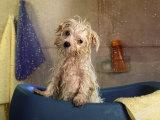 Little Wet Maltese in Bath Tub