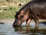 A Hippopotamus Takes a Drink from a Cool River