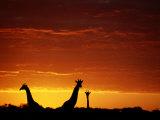 Silhouette of Three Giraffes against an Intense Sunset