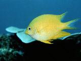 A Golden Damselfish