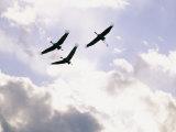 Sandhill Cranes Soar against a Cloudy Sky