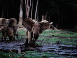 A Female Forest Elephant Charges the Photographer