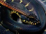 Boelens Python