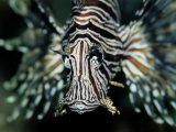 Close View of the Face of a Zebra Lionfish