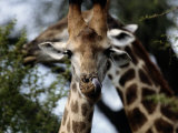 A Giraffe Licking its Nose in Kruger National Park