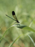 A Graceful Dragonfly Sitting on a Blade of Grass