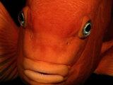A Close-up of a Tangerine-Colored Garibaldi Fish
