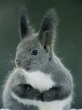 Large Tufted Ears Grace an Alert-Looking Hokkaido Squirrel