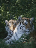Two Tigers Lie Next to Each Other