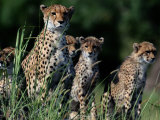 A Group of African Cheetahs Sitting in the Grass