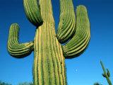 Close View of a Saguaro Cactus