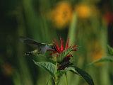 A Hummingbird at a Flower in Rock Creek Park