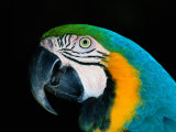 A Head-Only View of a Captive Blue and Yellow Macaw
