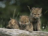 A Trio of Captive Wolf Pups Stand Behind a Fallen Tree Trunk