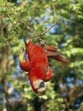 A Scarlet Macaw Hangs Upside-Down from a Branch