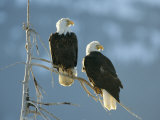 A Pair of Bald Eagles Perch on a Tree Branch