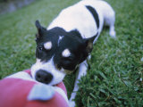 A Jack Russell Terrier Plays with a Stuffed Toy