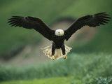 An American Bald Eagle Descends Along the Shoreline
